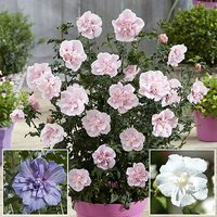 Double Hardy Hibiscus 'Chiffon' collection - 3 x 9cm potted plants