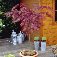 Acer palmatum 'Crimson Queen' 1M (Weeping Red Maple) standard tree