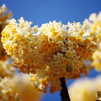 Edgeworthia chrysantha 'Gradiflora' (Paperbush) tree 13cm pot