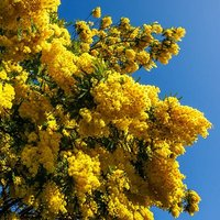 Flowering Mimosa (Acacia) 19cm pot 90cm cane