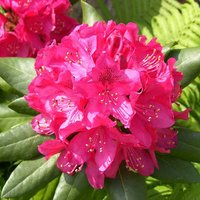 Pink Rhododendron Bush 'Germania' Flowering Shrub in a 7.5L Pot