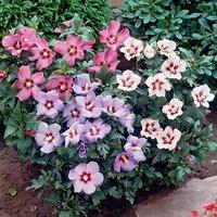 Hibiscus Tricolour 3L bush