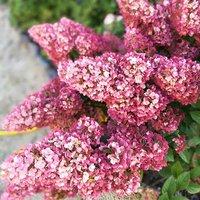 Hydrangea paniculata Sundae Fraise 9cm