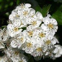Hedging Plant Crataegus monogyna (Hawthorn) 1-1.2M potted 2L