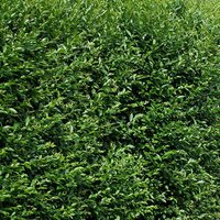 Hedging Ligustrum ovalifolium (Privet) 60-80cm 2L potted