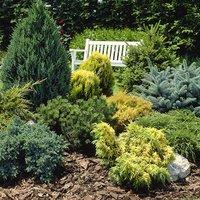 Evergreen Hardy Dwarf Conifer coll 6 x 9cm