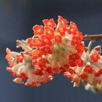 Edgeworthia chrysantha 'Red Dragon' (Paperbush) tree 13cm pot