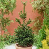 Abies nordmanniana (Nordmann Christmas tree) 1L pot, 20cm tall
