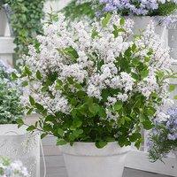 Syringa Flowerfesta White 9cm