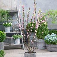 Prunus triloba Rosemund 2L