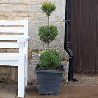 3 Ball Topiary Cupressus leylandii 10L