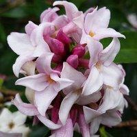 Daphne Perfume Princess 9cm