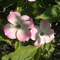 Cornus rutgerensis 'Stellar Pink' bare root 60-100cm