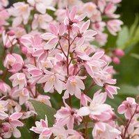 Image of Deutzia Yuki Cherry Blossom 3L