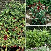 Evergreen Shrub hedge Mix - 3 plants