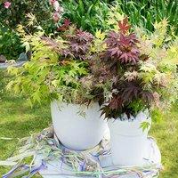 Acer palmatum Festival 3L 3 vars in pot