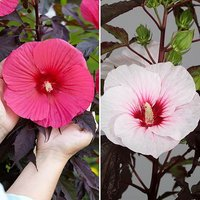 Hibiscus moscheutos Giant Flowered pair 2 x 2L