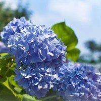 Hydrangea mac. Standard 90cm Blue 3L pot