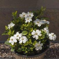 Gardenia Kleims Hardy 2L