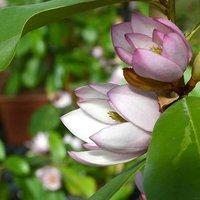 Fairy Magnolia Blush 13cm pot