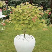 Acer shirasawanum Moonrise 3L