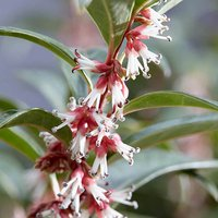 Sarcococca hookeriana Winter Gem 15cm