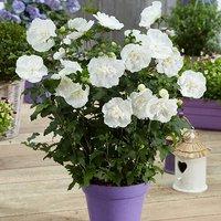 Hibiscus Syriacus White Chiffon 2L