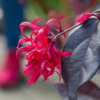 Loropetalum 'EverRed' Chinese Witch Hazel Plant 13cm Potted Plant