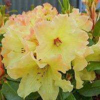 Premium Rhododendron