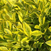 Ligustrum ovalifolium Aureum Golden Privet 9cm