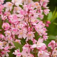 Image of Deutzia Yuki Cherry Blossom 9cm