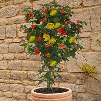 Abutilon Red & yellow mix standard 75cm 19cm