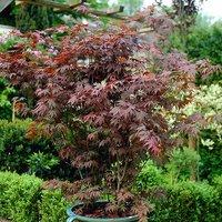 Acer palmatum Atropurpureum 2L