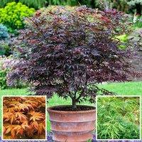 Acer palmatum set of 3 x 2L