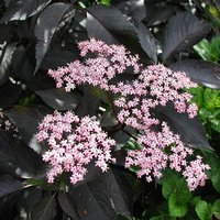 Sambucus nigra Black Beauty 3L