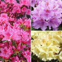 Dwarf Rhododendrons 3 x 2L