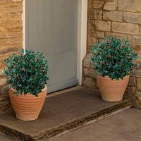 Ilex (Holly) 26cm pot 40-50cm ball