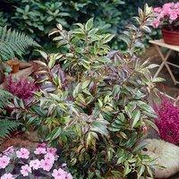 Leucothoe fontanesiana