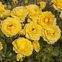 Gift Rose Bush 'Golden Wedding' 3L pot