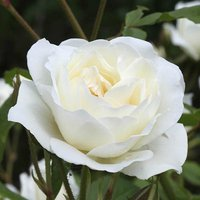 Gift Rose 'Silver Anniversary' 3L pot (gift wrapped)