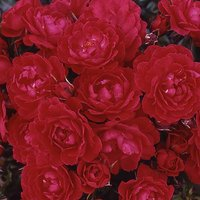Gift Rose 'Birthday Girl' 3L pot (gift wrapped)