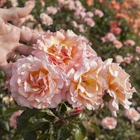 Climbing Rose 'Compassion' br
