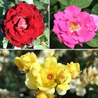 Climbing Rose bush Collection - 3 varieties bare root