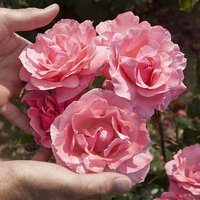 Potted Rose 'Queen Elizabeth' potted