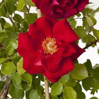 """Climbing Rose """"Love Knot"""" (red) in 4L"""