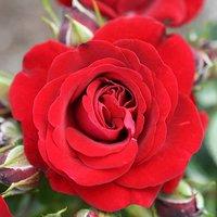 Gift Rose 'Ruby Anniversary' 3L pot