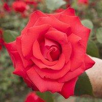 Gift Rose 'My Valentine' 3L