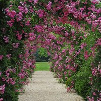 Pair of Climbing Rose Bushes and Rose Arch 2.4M