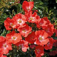 Groundcover Rose bush