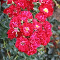 Climbing Rose 'Rambling Rosie' potted 3L